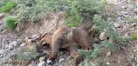 پنجمین خرس قهوه ای دنا قربانی تراکتور سواری مدیر کل محیط زیست شد
